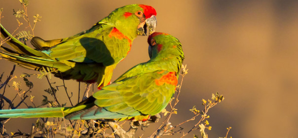 red-fronted-macaws_paul-b-jones
